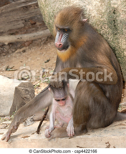 サル, 動物,  Mandrill - csp4422166