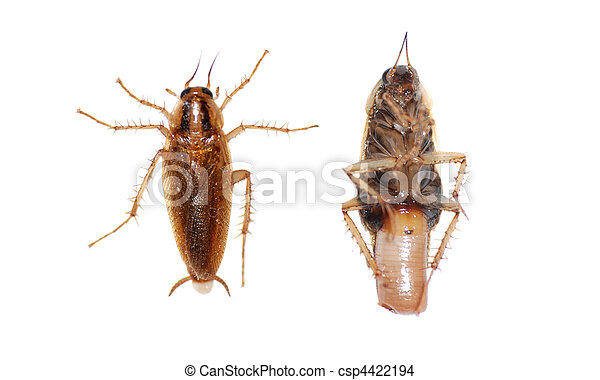 inseto, barata - csp4422194