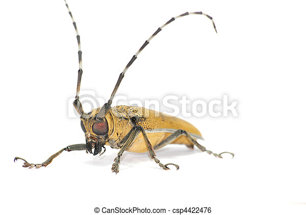 insect long horn beetle  - csp4422476