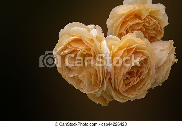 Soft full blown beige roses as a dark background - csp44226420