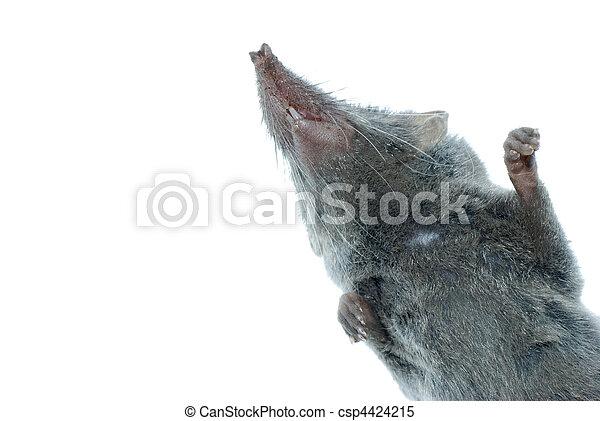 mammal animal shrew rat - csp4424215
