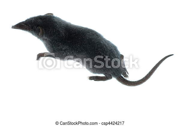 mammal animal shrew rat - csp4424217