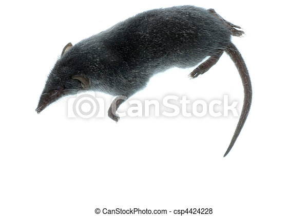 mammal animal shrew rat - csp4424228
