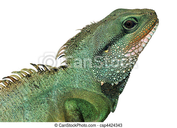 reptile animal lizard isolated in white - csp4424343