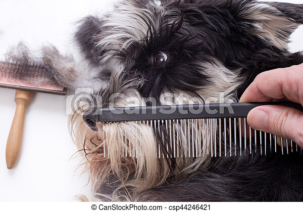 Groomer combing long hair of cute dog. Miniature schnauzer lying with grooming equipment on white table