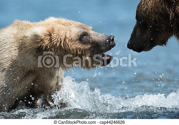 Two Alaskan brown bears playing - csp44246626