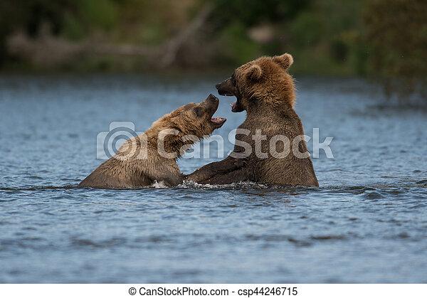 Two Alaskan brown bears playing - csp44246715