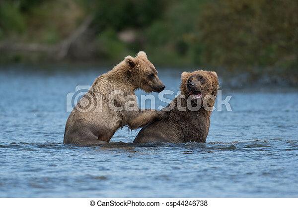 Two Alaskan brown bears playing - csp44246738