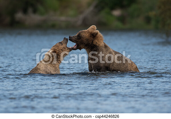 Two Alaskan brown bears playing - csp44246826