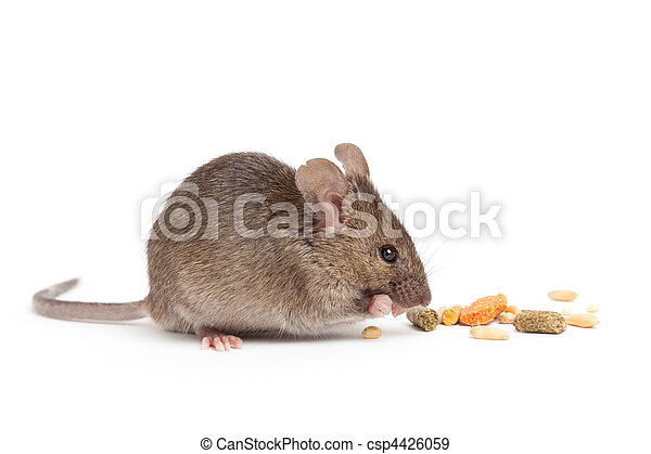 cute mouse eating isolated on white - csp4426059