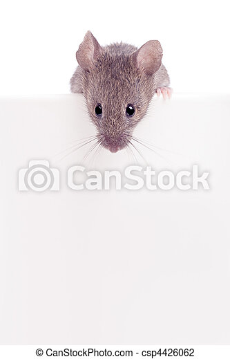 Mouse looking over edge isolated - csp4426062