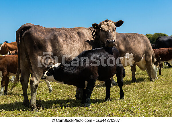 Murray Gery Cow and Calf - csp44270387
