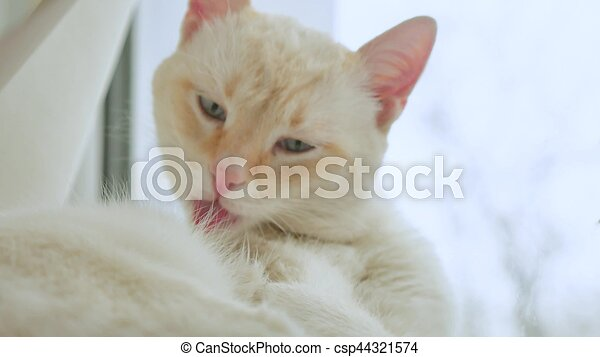 white cat licks clean hair, lying on windowsill pet at the window