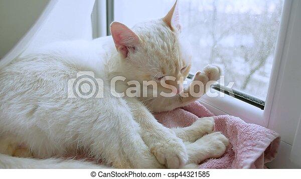 white cat licks clean hair, lying pet on windowsill at the window