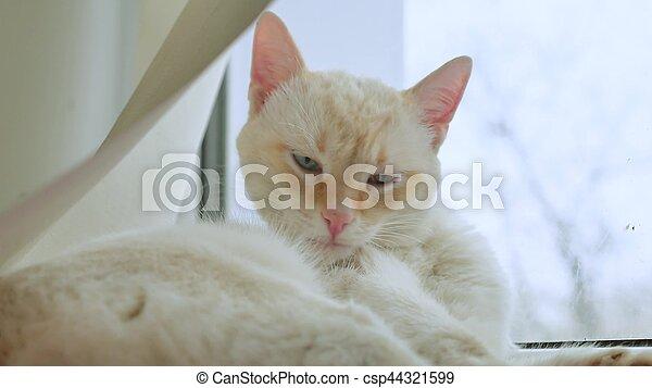 white cat licks clean hair, lying on windowsill at pet the window