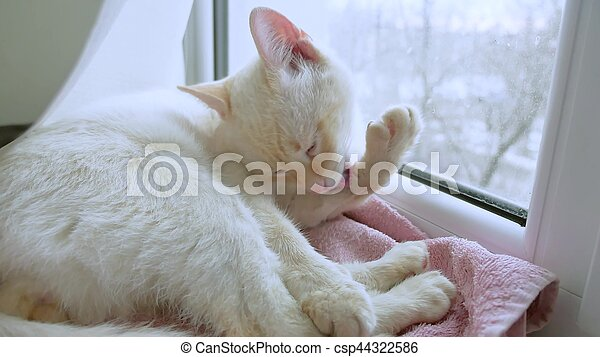 white cat licks clean hair, lying pet on windowsill at the window