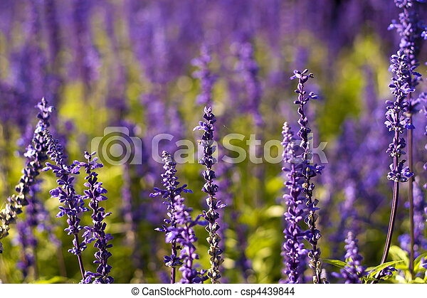 Lavender flowers in the open. - csp4439844