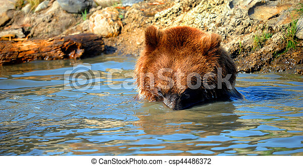 Bear submerges his head and looks in the water for a fish. Rocks line Pool.