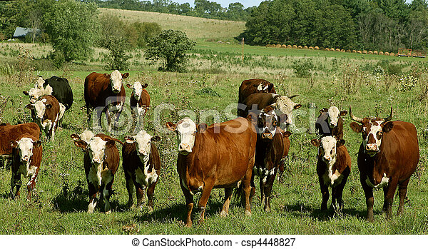 hereford cows in a pasture - csp4448827