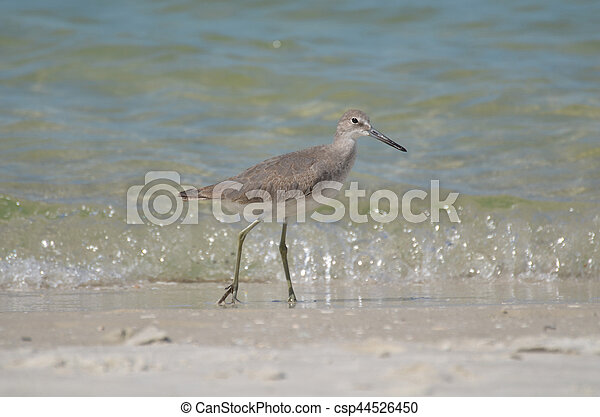 Sandpiper walking along the edge of the water on a beach in Naples.