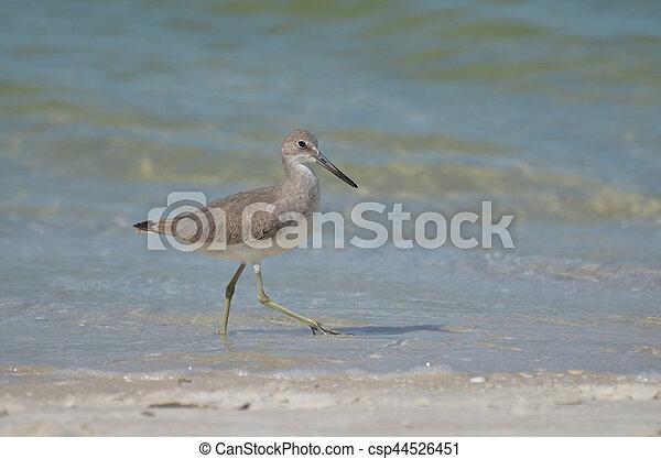 Sandpiper bird walking along a sandy beach in Naples Florida.
