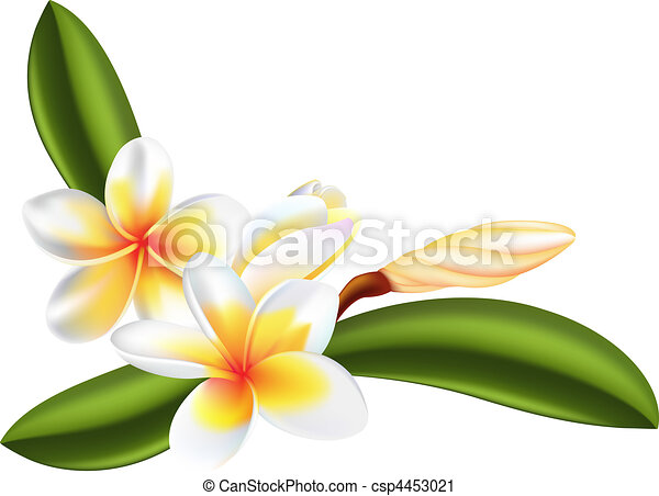 Illustration, de, beau, frangipanier, ou, plumeria, fleurs