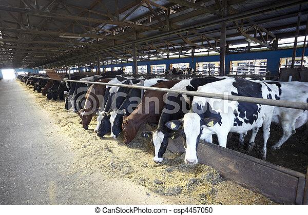 granja, agricultura, vaca de la leche, bovino - csp4457050