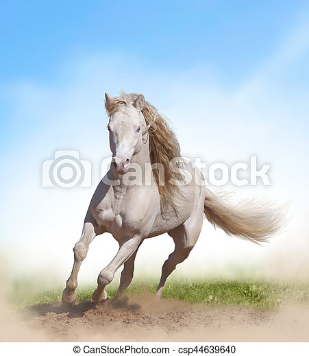 Young welsh pony stallion with long mane in summer