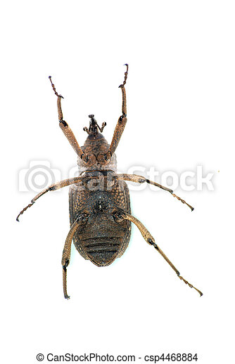 insect snout beetle  - csp4468884