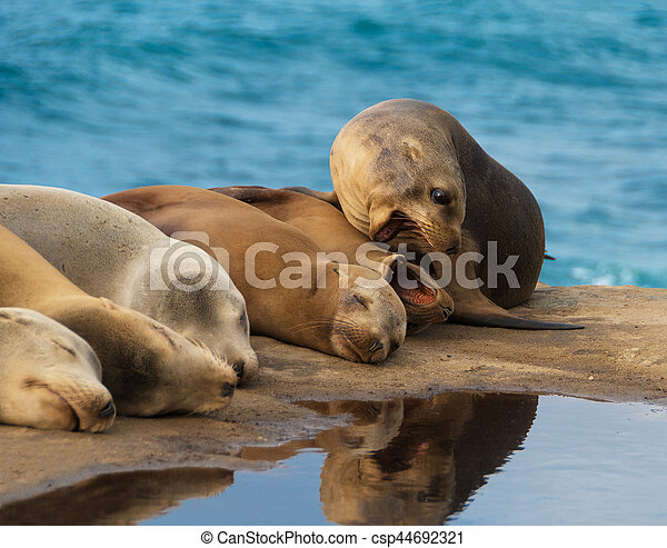 Sea Lions by the Ocean - csp44692321