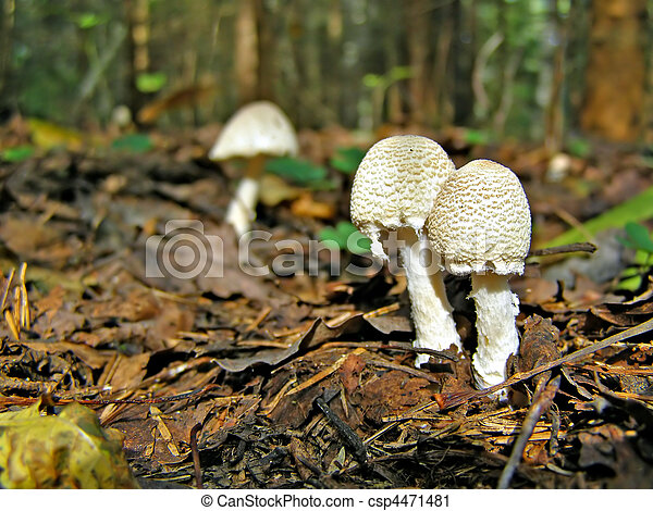 stock photography of poisonous mushrooms in wood csp4471481 search stock photos pictures. Black Bedroom Furniture Sets. Home Design Ideas