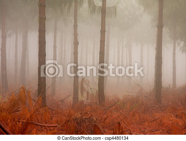 misty pine tree trunks - csp4480134