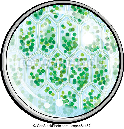 Chlorophyll. Plant Cells under the Microscope - csp4481467