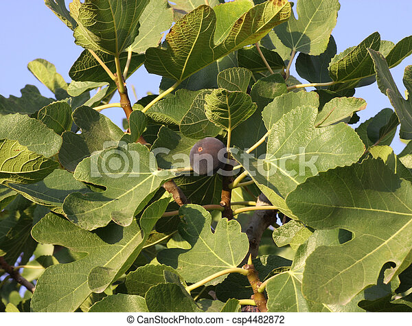 Fig Tree - csp4482872