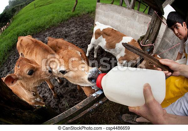 Feeding hungry calves on Costa Rican farm - csp4486659