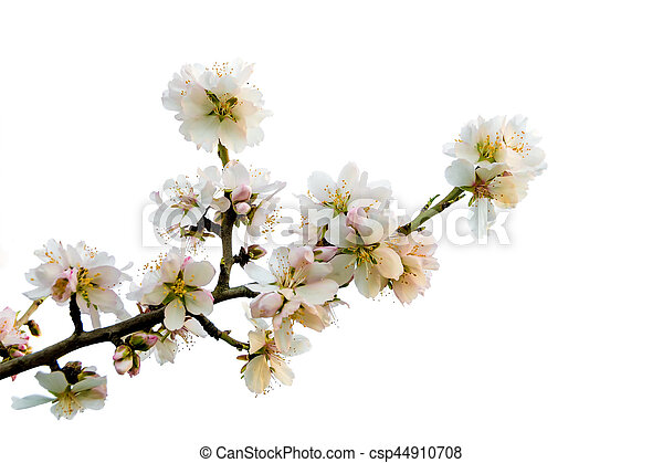 Almond Branch on Bloom - csp44910708