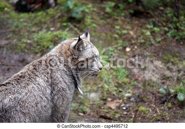 Lynx.  Photo taken at Northwest Trek Wildlife Park, WA. - csp4495712