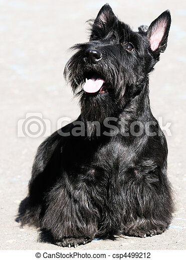 Scottish Terrier - csp4499212