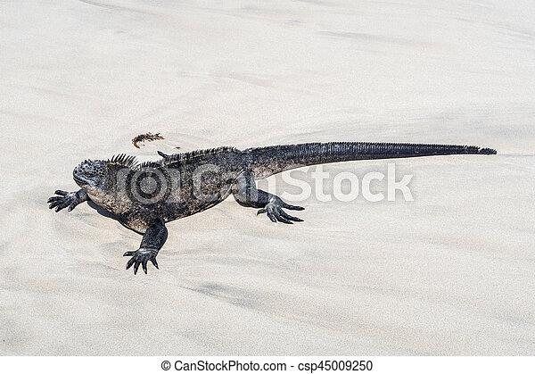 sea lizard on a rock at the beach - csp45009250