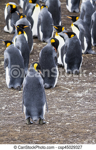 King Penguin - csp45029327