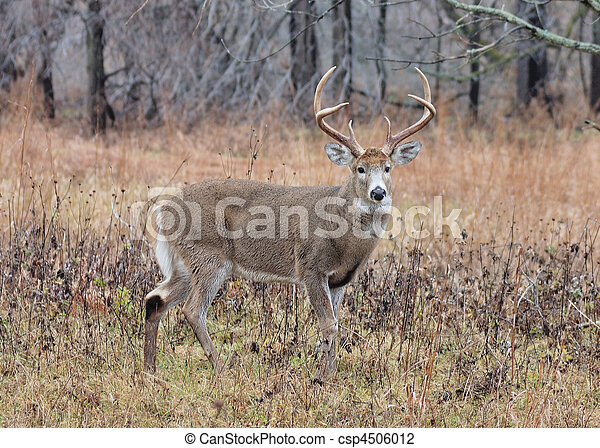 Whitetail Deer Buck - csp4506012