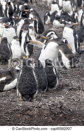 Gentoo Penguin Colony - csp45062007