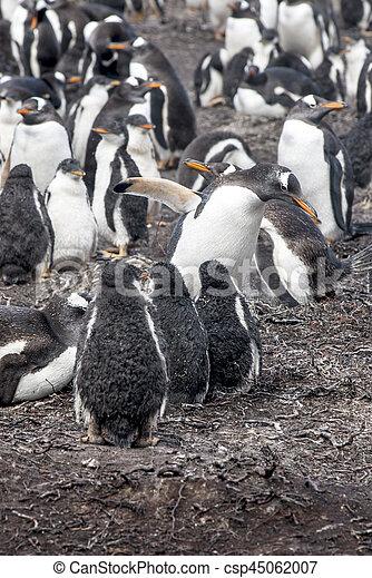 Gentoo Penguin Colony - csp45062007