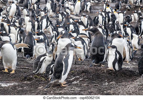 Gentoo Penguin Colony - csp45062104