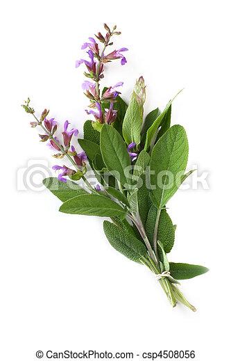 Flowering Sage - csp4508056
