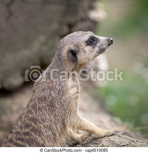 watchful meerkat standing guard - csp4510085