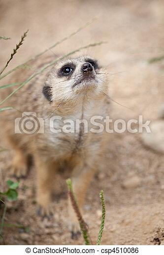 watchful meerkat standing guard  - csp4510086