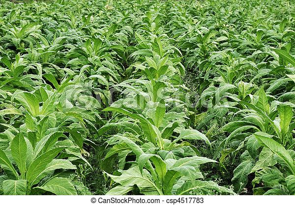 Tobacco farming - csp4517783