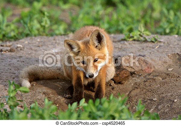 Red Fox pup in Saskatchewan - csp4520465