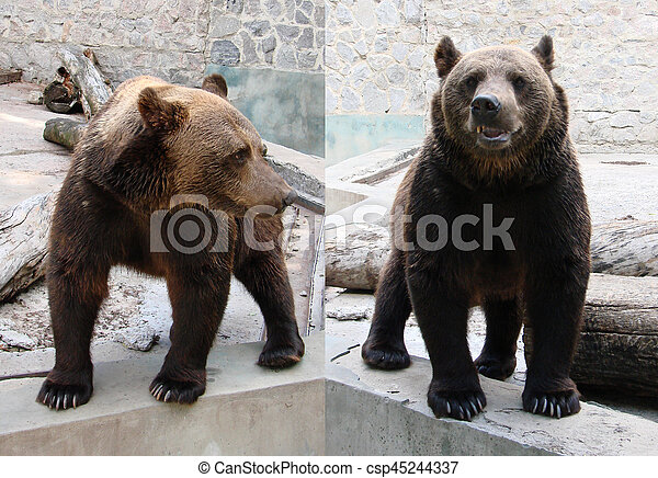 bears. a cute brown bear. Big Brown Bear.